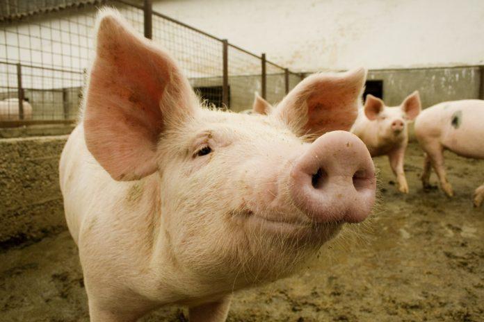 Científicos chinos miran de cerca un nuevo virus detectado en cerdos que podría tener
