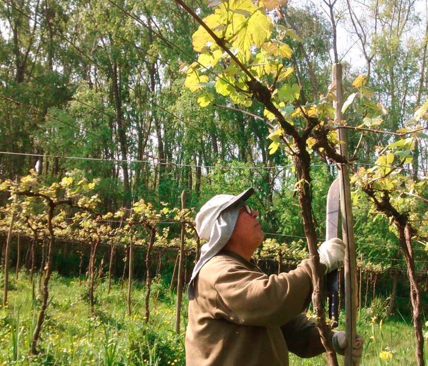 Las uvas Isabella, claves para el sabor del Vino de la Costa. (Vino Costa de Berisso)