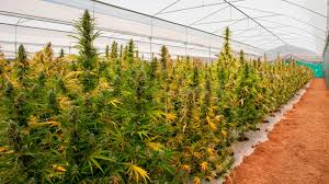"""Tras la nueva reglamentación, finalmente Lamadrid producirá """"cannabis estatal"""""""