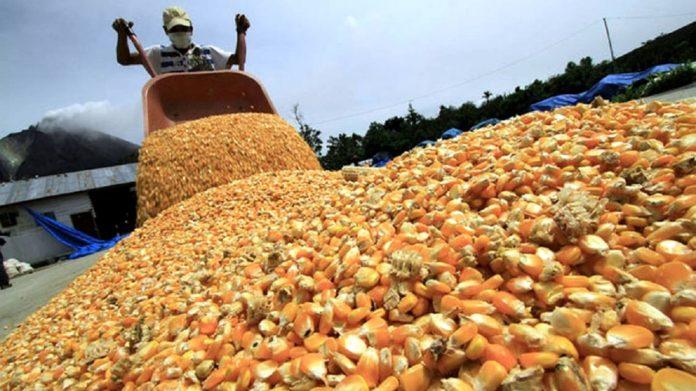 El Gobierno cerró la exportaciones de maíz para garantizar el abastecimiento interno