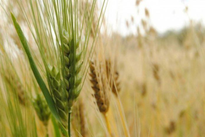 Progresa la trilla de cebada en el centro y sudeste bonaerense.