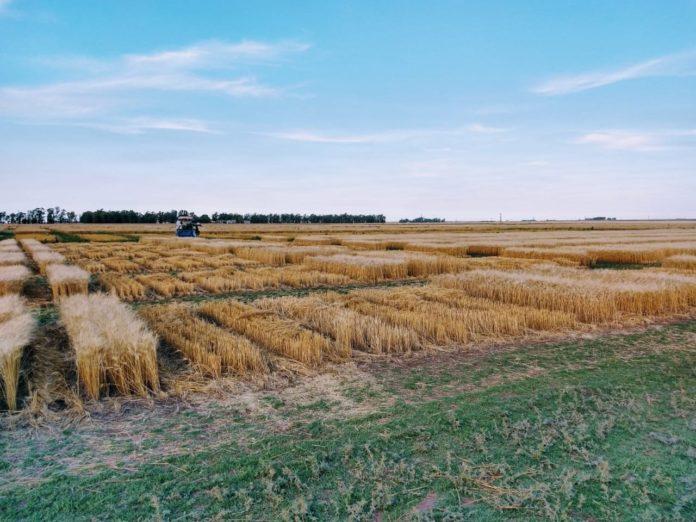 """El programa servirá para """"avanzar en la mejora de la calidad del trigo que se produce en Buenos Aires"""". (Prensa MDA)"""