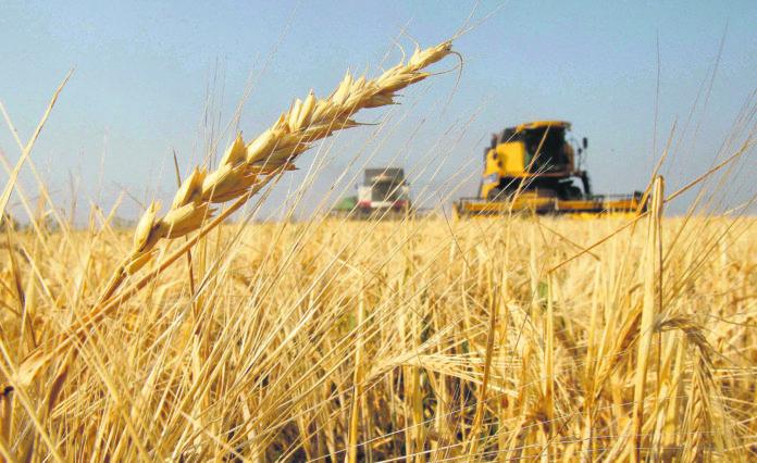 El análisis del trigo busca mejorar su producción en la provincia de Buenos Aires.