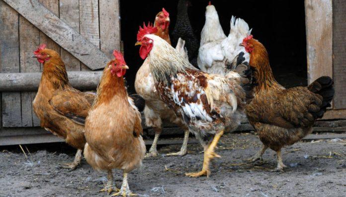 Recibió una multa de $ 40 mil por los ruidos que hace su gallo