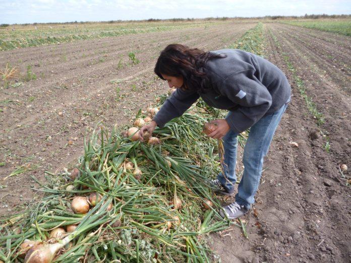 Otorgan subsidios a productores cebolleros del río Colorado por sequía