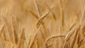 Estiman una producción récord de trigo y cebada con ingresos por USD 3.800 millones