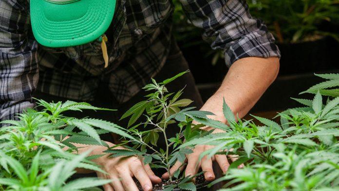 El Senado dio media sanción a la producción industrial del cannabis medicinal